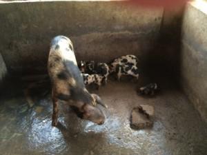 Picture 1 Pig Pen