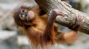 orangutan_2