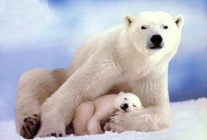 polar-bear-endangered-rule-obama